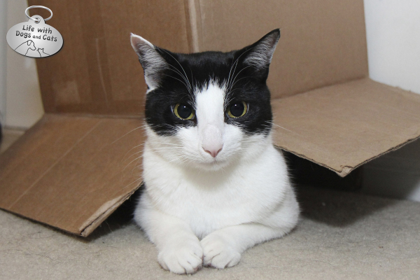 Calvin the cat wears his box proudly