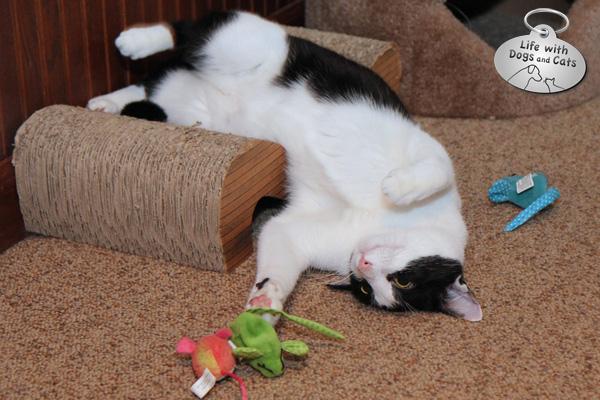 Calvin likes to chase catnip mice.