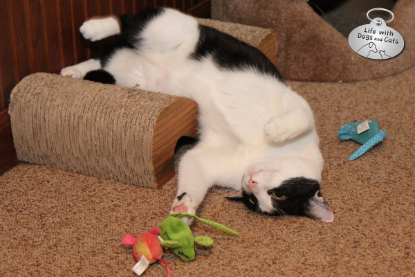 World Cat Day: Playing with the new toys that the Cat Lady left under the cat tree.
