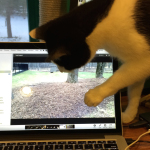 Cat Video: Calvin Plays Catch that Dog