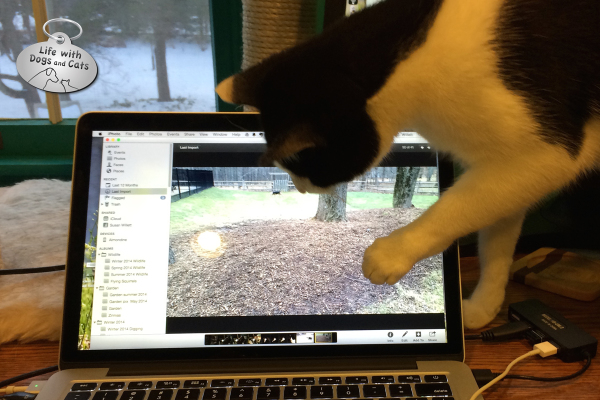 Calvin the cat tries to catch a video dog