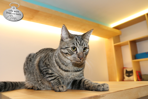 Cat waits for customers to come play with him at Meow Parlour cat cafe