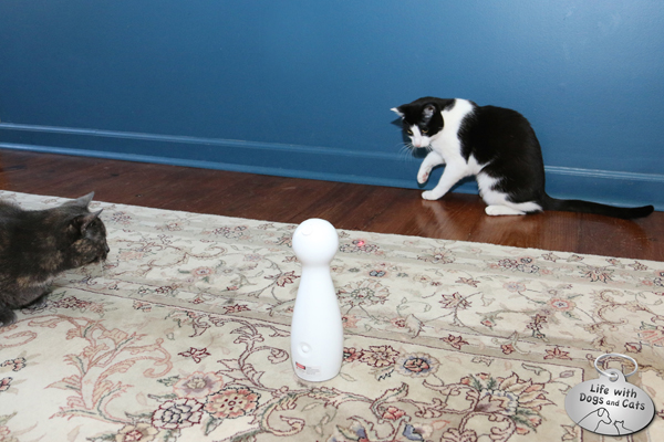 Cats Athena and Calvin play with FroliCat electronic laser cat toy