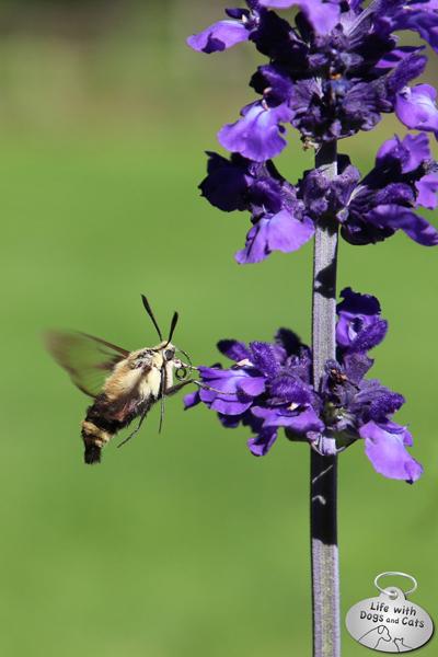 A Spicebush Swallowtail flies past Lilah.