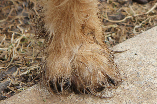 Muddy dog paw