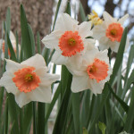 Daffodils aren't always yellow. I have a variety in my garden.