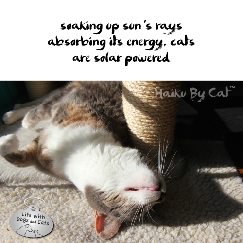 Haiku by Cat: soaking up sun's rays / absorbing its energy, cats / are solar powered