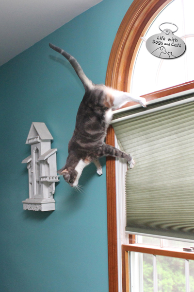 Spider cat? Dawn walks on walls and windows.