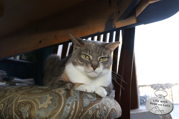 One of Dawn's favorite spots is on a chair under the table. Hidden, yet with a little height. We always make sure we push the chairs in so she has some privacy.