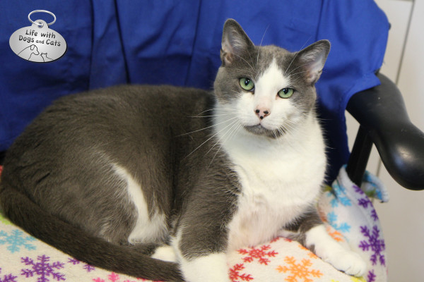 Doobie, one of the adoptable cats at the Somerset Regional Animal Shelter.