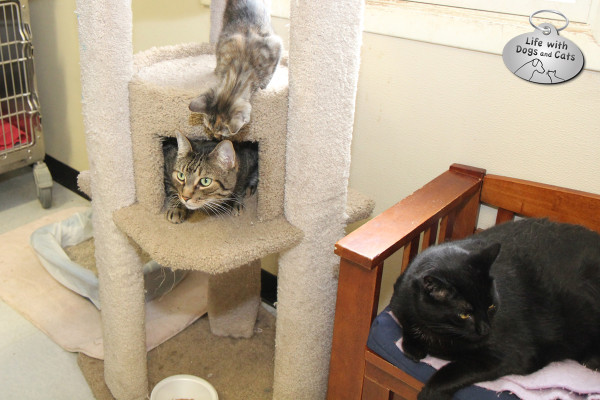 Earthshine, Randall and Muffy are some of the adoptable cats at the Somerset Regional Animal Shelter.