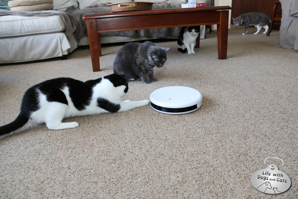 4 cats watch electronic cat toy