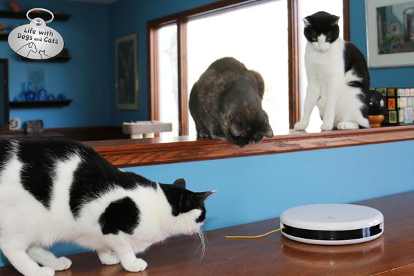 3 cats play with FroliCat FLIK