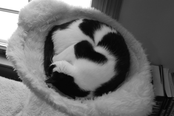 Cat curled up in bed