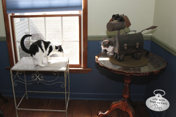 Dawn the cat seeks protection from Elsa Clair by hiding next to Cocoa the steampunk dog