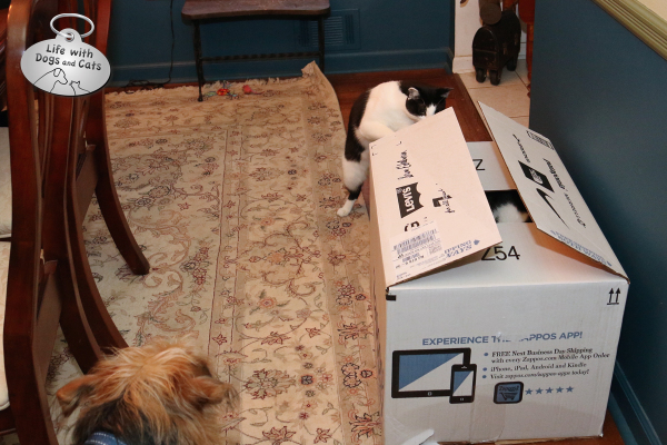 Calvin the cat looks inside box, while Tucker the dog watches