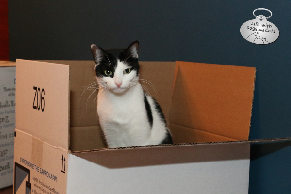 Angry cat in box