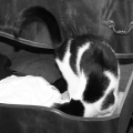 Elsa Clair, my black and white cat, in my black and white drawer, in black and white