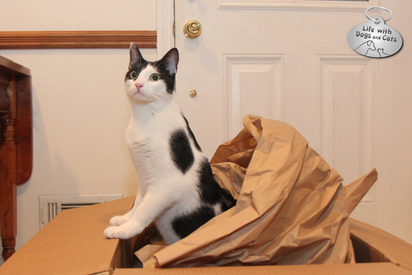Reasons cats love boxes: Packing paper makes great crinkle noises!