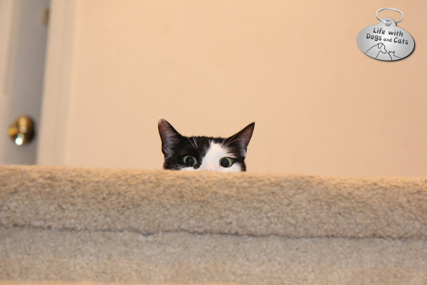 Elsa Clair's favorite game is to wait at the top of the stairs for me to throw a toy mouse. She runs up and down the stairs, pouncing and kicking, then runs back up: Do it again!