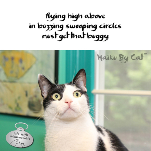 Haiku by Cat: flying high above / in buzzing swooping circles / must get that buggy