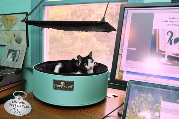 The Sleepypod is just the right height for even my small Elsa Clair to look over the edge and watch the world through my office window. Oh, and if you wondered why I fell in love with the robin's egg blue of the carrier, check out the color of my office walls. Purr-fect match.