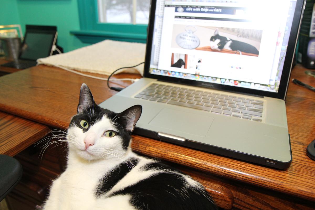 Cat on lap by laptop