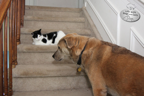 The dog won't go past the tiny cat.