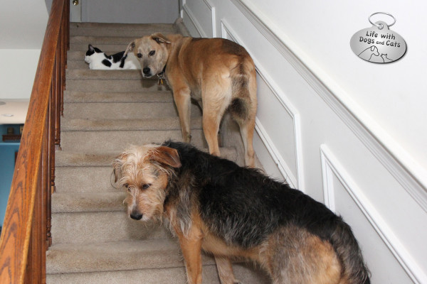 Dog traffic jam on stairs because there's a cat in the way.