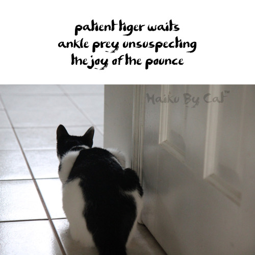 Haiku by Cat: patient tiger waits / ankle prey unsuspecting / the joy of the pounce