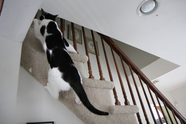Cat climbs the stairs