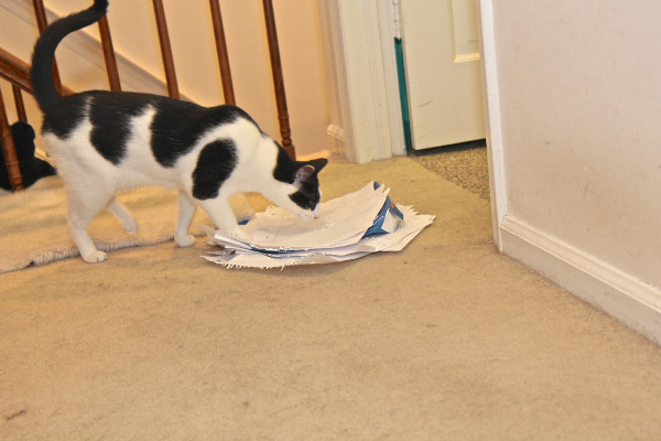 Elsa Clair the cat inspects a pile of paper