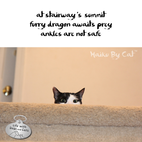 Haiku by Cat: at stairway's summit / furry dragon awaits prey / ankles are not safe