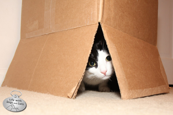 Reason why cats love boxes: A box makes a great place to pounce from.