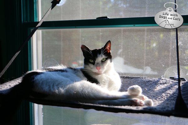 Elsa Clair's favorite spot is a hanging window shelf just above my desk in my office. She comes looking for me if I'm gone too long.