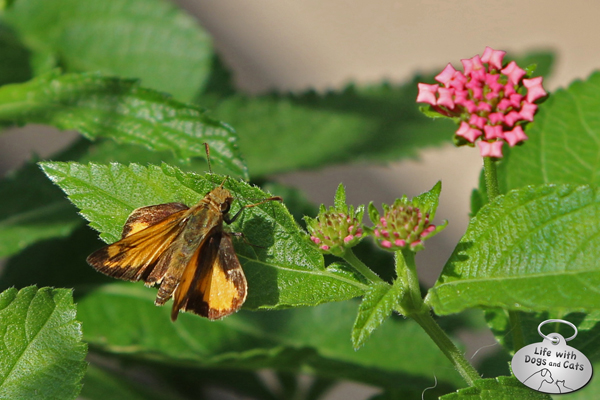 Fiery skipper basking on lantana leaf