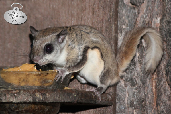 A flying squirrel eats peanut butter from a feeder.
