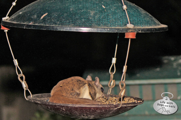 Flying squirrel eats seeds from a bird feeder.