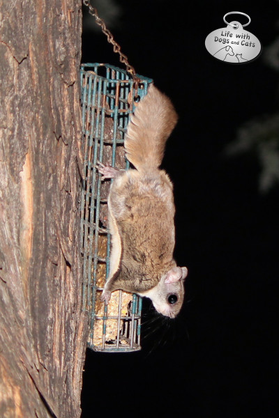 Flying squirrel on suet feeder