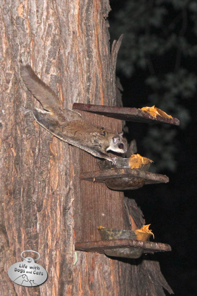 It's easy to see the skin stretched between the paws of this flying squirrel.