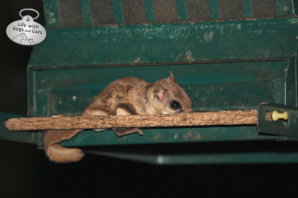 Young flying squirrel eats sunflower seeds from a squirrel-proof (as in gray squirrel) feeder.