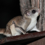 Story: Yes, there are flying squirrels in New Jersey