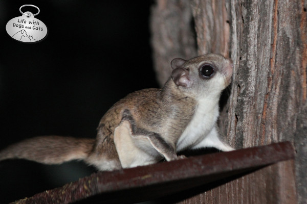 Young flying squirrel sits on top of a feeder.