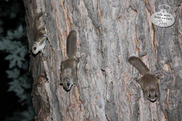 Three flying squirrels on a tree