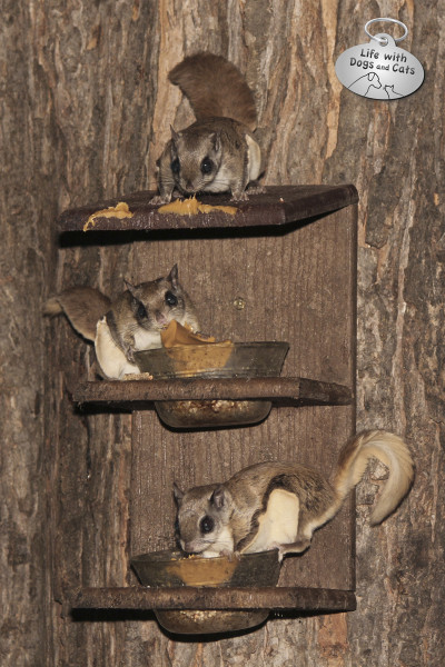 Three flying squirrels eating from the feeder.