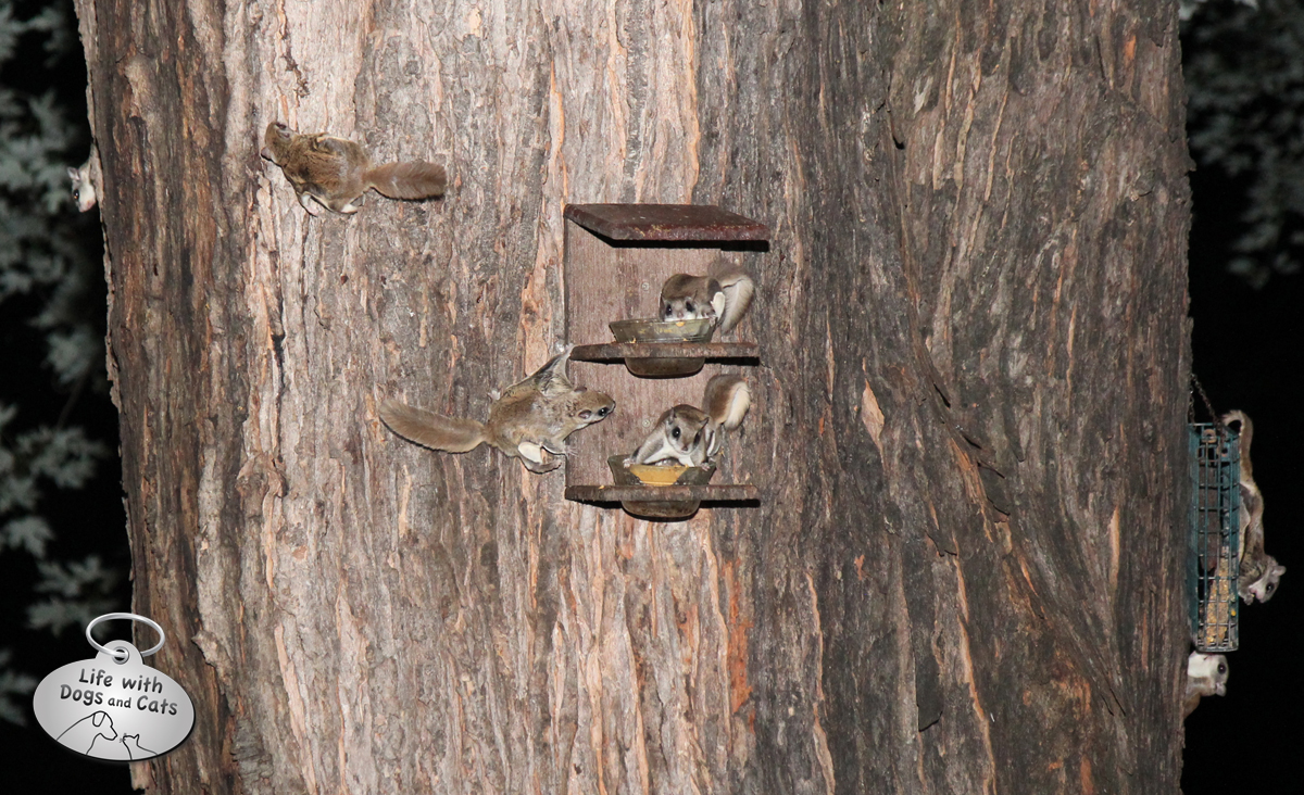 Seven flying squirrels on a tree, eating from two feeders.