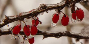 Photo: winter berries