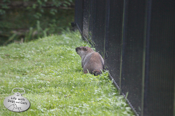 Groundhog by my fence