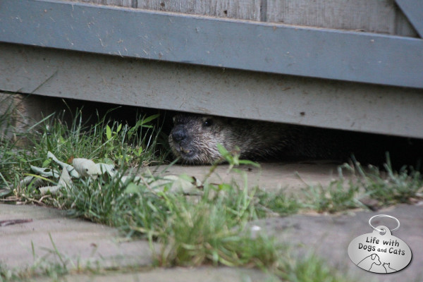 Groundhog looks out from under shed.