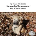 my needs are simple / the warmth of the sun and a / bed of fallen leaves #HaikuByDog #HaikusDay #MicroPoetry